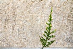 Kriechpflanze auf der Wand stockfoto
