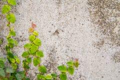 Kriechpflanze auf der Wand stockfotografie