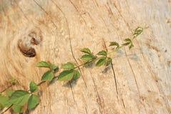 Kriechpflanze auf trockenem gebrochenem hölzernem Hintergrundbeschaffenheitsmuster Lizenzfreies Stockfoto