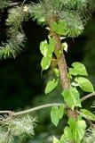 Kriechpflanze, die über einer Kiefer bindet lizenzfreies stockbild