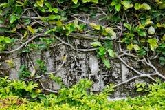 Kriechpflanze, die abdeckt alte Wand `` Lizenzfreie Stockbilder