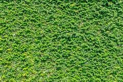 Kriechpflanze, die auf der Wand klettert lizenzfreie stockfotografie