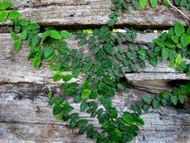Kriechpflanze-Rebe auf altem Zaun Stockfotos