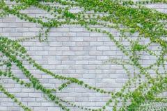 Kriechpflanzen auf einer weißen Backsteinmauer stockfoto