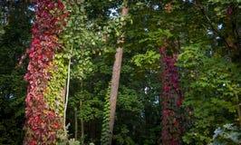 Kriechpflanzen, welche die Stämme von Waldbäumen bedecken lizenzfreies stockbild