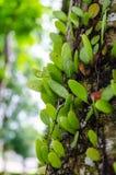Kriechpflanzenanlage auf dem Baum Stockfotografie