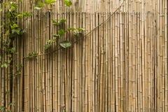 Kriechpflanzenanlage gegen eine Bambuswand Lizenzfreies Stockbild