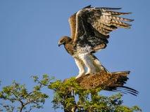 Krigs- Eagle Fotografering för Bildbyråer