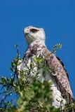 Krigs- Eagle Royaltyfri Bild