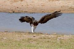 Krigs- Eagle i den Kruger nationalparken Arkivfoto