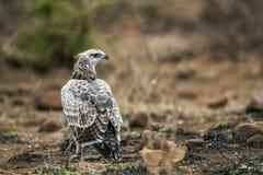 Krigs- Eagle i den Kruger nationalparken, Sydafrika Arkivfoton