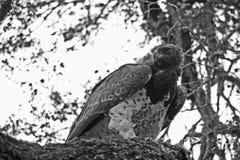 Krijgseagle bellicosus-polemaetus Royalty-vrije Stock Foto's