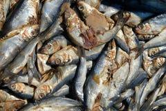 Krill fresco usato come esca Fotografie Stock