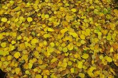 Krim-Herbstgelb verlässt vom Baum, der aus den Grund liegt Stockfotografie