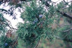 Krim - Nadeln stockbilder