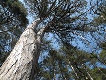 Krimpijnboom op een mooie zonnige dag Stock Fotografie
