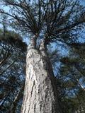 Krimpijnboom op een mooie zonnige dagverticaal Stock Afbeelding