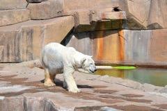 Kringresande isbjörn Arkivbilder