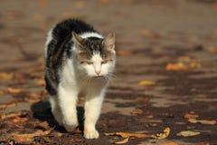 Kringresande katt Royaltyfria Bilder