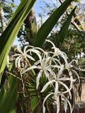 Krinum asiaticum, jad żarówka lub giganta krinum leluja Uroczysta krinum leluja lub pająk leluja kwitniemy obraz royalty free