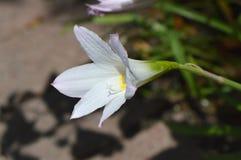 Krinum lelui kwiat Fotografia Stock