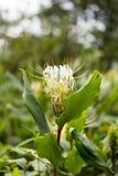 Krinum leluja, przylądek leluja, jad żarówka lub pająk leluja w makro- (,) Zdjęcie Stock