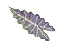 Kris Plani leaf isolated. Stock Photos