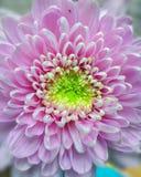 Krisan kwiaty Zdjęcia Stock