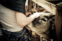Krishna-Gläubigermädchen, das auf eine Viehkuh am religiösen Dorf am ländlichen Teil von Ungarn einwirkt stockfotos