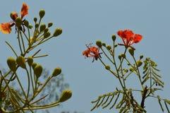 krishnachura Photographie stock