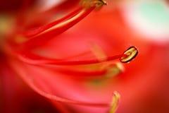 Krishnachura blomma Arkivbild