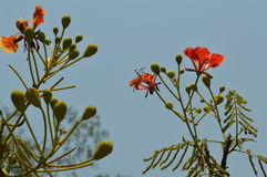 Krishnachura. Summer flower red Stock Photography