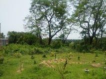 Krisnochura drzewo fotografia stock