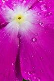 Kristal-bal-als waterdalingen op een bloem Royalty-vrije Stock Afbeeldingen