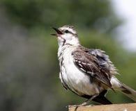 Krita-browed härmfågel Arkivbilder