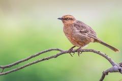 Krita-browed härmfågel - Mimussaturninus Royaltyfria Foton