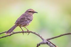 Krita-browed härmfågel - Mimussaturninus Royaltyfri Fotografi