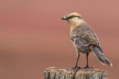 Krita-browed härmfågel - Mimussaturninus Royaltyfria Bilder