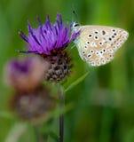 Krita-kulle blå fjäril Arkivbilder