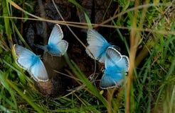 Krita-kulle blå fjäril Royaltyfri Foto