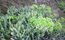 Kritamos-Anlage, die auf den Felsen wächst Supernahrungsmittelseefenchel Kretische Kräuter für Salate lizenzfreie stockfotografie