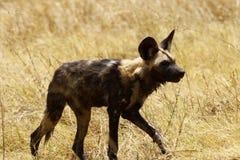 Kritisch bedrohte Art der afrikanische wilde Hund Lizenzfreie Stockfotografie