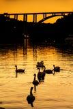 Krka swans Stock Photos