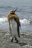 król pingwin Zdjęcie Royalty Free