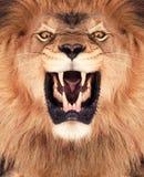 królewiątko lew Fotografia Royalty Free