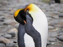 Królewiątko pingwin w Południowym Gruzja Antarctica Obraz Royalty Free