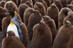 Królewiątko pingwinu Creche - Falkland wyspy Zdjęcia Royalty Free