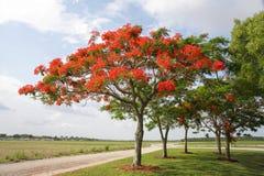królewski poinciana drzewo Obraz Royalty Free