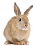 królika królik Obrazy Stock