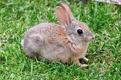 królika królik Fotografia Royalty Free